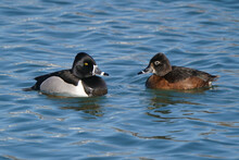 Ring Necked Duck Pair On Harbour Swimming In Early Spring On Freezing Cold Day But Sunny