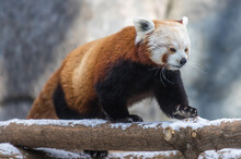 The Little (red) Panda Is An Amazing Animal. It Is A Predatory Animal That Feeds Mainly On Plant Food.