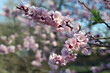 kwiaty moreli, wiosenne kwiaty, r różowe kwiaty, kwitnące drzewa, kwitnące drzewa owocowe, kwiaty owocowe, kwiaty drzew owocowych,