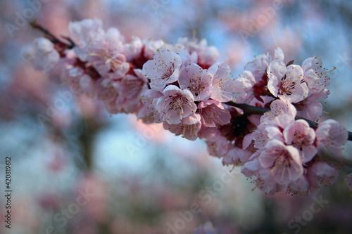 Obraz kwiaty moreli, wiosenne kwiaty, r różowe kwiaty, kwitnące drzewa, kwitnące drzewa owocowe, kwiaty owocowe, kwiaty drzew owocowych,  - fototapety do salonu