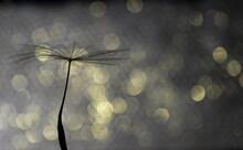 Illuminated Dandelion Seeds In The Dark