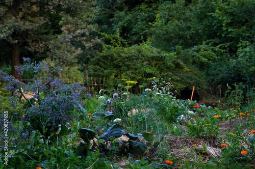 Fototapeta ogród warzywny, uprawa warzyw, jarzyny w ogrodzie, warzywniak, wieś, rolnictwo, zdrowie, rośliny,  obraz