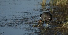 American Coot Waterbird Or Rail Adult Chick Young Pair Feeding Young Summer