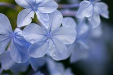 Flower Plumbago