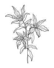 Hand Draw Clematis