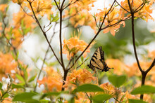 USA, Tennessee, Great Smoky Mountains National Park Tiger Swallowtail Butterfly (Papilio Appalachiensis) On Flame Azalea (Rhododendron Calendulaceum)