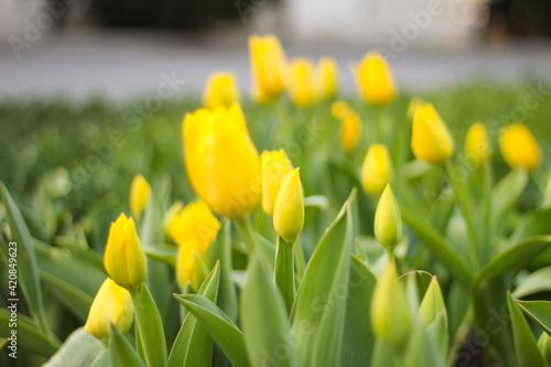 Valokuvatapetti yellow tulips on the seaside boulevard.