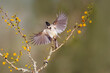 Black-crested titmouse landing.