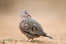 Common Ground Dove Preening.
