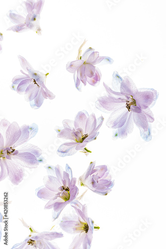 delphinium flowers on the white backgrund Fotobehang