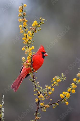 Northern cardinal in habitat. Fototapet