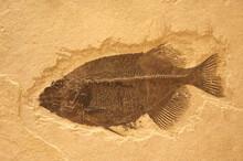 Closeup Shot Of Ancient Fish Fossils