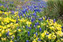 Texas Wildflowers In Bloom.
