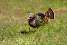 Wild Turkey (Meleagris Gallopavo) Strutting.