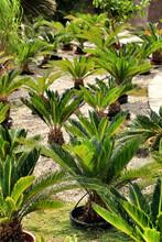 Colorful Cycas Revoluta In The Garden