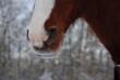 canvas print picture - Pferdeherde im Schnee