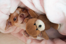 Mini Chihuahua Puppy Is Playing With A Teddy Bear In His Bed. Puppy Is Two Months Old. The Dog Hugs A Teddy Bear.