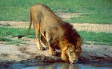 Botswana: Lion Drinking In Shamwari Game Reserve