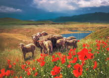 A Flock Of Sheep And Lambs Grazing In A Pasture At The Foot Of The Mountains In Spring Among A Field With Poppy Flowers