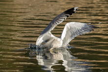 Seagull In Water Catches Fish In Its Beak.