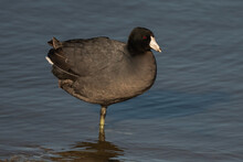 American Coot Standing On One Leg In The Pond