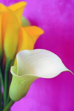 White And Yellow Calla Lily Flowers (Zantedeschia)