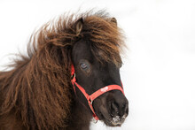A Small Brown Miniature  Pony With A Blue Bridle On Its Head. The Horse Is Raising Its Head Over A Barbwire Fence With Wooden Posts. The Horse Has Long Shaggy Hair Or Mane And Small Brown Eyes.