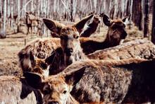 Herd Of Deer In Forest, Ural, Sverdlovsk, Russia