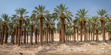 Desert Agriculture. View Of Palm Tree Plantation In The Dead Sea Region, Israel
