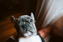 French Bulldog Puppy Staring Up From Owner's Lap, Personal Perspective Portrait