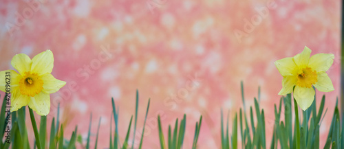 ワイド幅撮影した満開の水仙の花の風景
