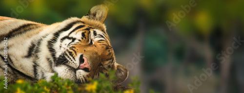 Fotografie, Tablou Sleeping Tiger Website Banner