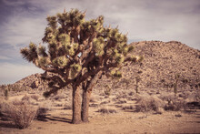 Arid Landscape And Joshua Tree, Joshua Tree, California, USA