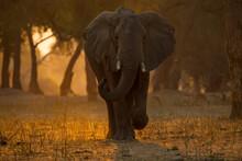 Elephant (loxodonta Africana) Walking In Forest At Sunset , Mana Pools National Park, Zimbabwe