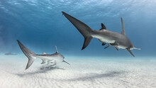 Underwater View Of Great Hammerhead Shark And Tiger Shark Swimming Over Seabed, Alice Town, Bimini, Bahamas