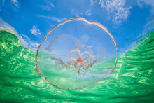 Moon Jellyfish Harbouring Baby Fish For Protection Against Predators