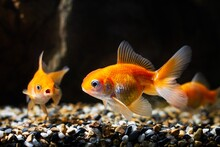 Bright Orange Juvenile Oranda Goldfish, Commercial Aqua Trade Breed Of Wild Carassius Auratus Carp, Popular Ornamental Fish In Low Light Blurred Background