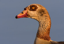 Egyptian Goose Against Blue Sky, Side View Portrait, Kruger National Park, South Africa