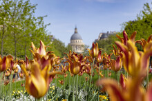 Tulips In Jardin Du Luxembourg, Pantheon In Background, Paris, France