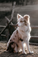 Red Merle Border Collie On Ranch, Canada