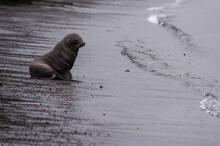 Antarctic Fur Seal (Arctocephalus Gazella) On Black Volcanic Beach, Deception Island, Antarctica