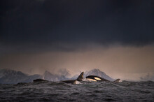 Dark Overcast Sky Over Waves, And A School Of Killer Whales (orca) Breaking The Surface Of The Sea At Lofoten, Norway