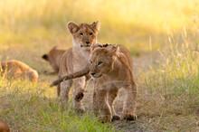 Lion Cubs (Panthera Leo), Masai Mara National Reserve, Kenya