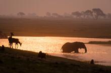 African Elephant (Loxodonta Africana) And Animals At Waterhole, Chobe National Park, Botswana