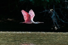 Roseate Spoonbill (Platalea Ajaja) In Flight, Corcovado National Park, Osa Peninsula, Costa Rica