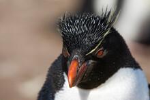 Close Up Portrait Of Rockhopper Penguin (Eudyptes Chrysocome), Falkland Islands