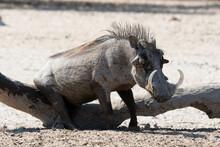 Warthog (Phacochoerus Africanus) At Waterhole, Kalahari, Botswana
