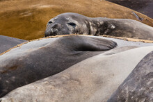 Southern Elephant Seals (Mirounga Leonina) Resting On Beach, Falkland Islands