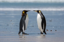 Young King Penguin Molting (Aptenodytes Patagonica) And Its Mother On Sandy Beach, Falkland Islands