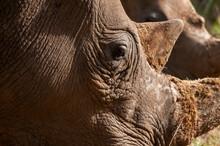White Rhinoceros (Cerototherium Simium), Masai Mara National Reserve, Kenya